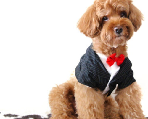 A brown poodle dog wearing tuxedo